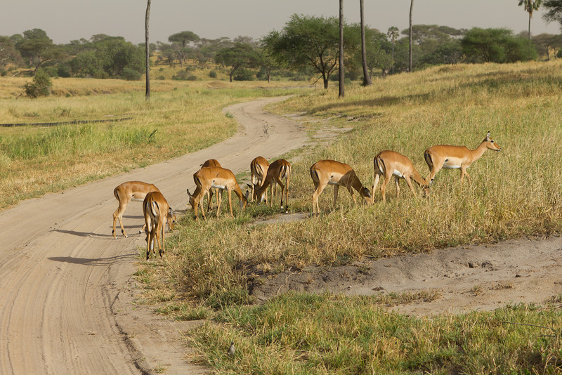 Impala crossing the road in the Taranguire National Park - Tanzania
