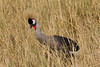 Grey Crowned Crane in the Tarangire National Park - Tanzania