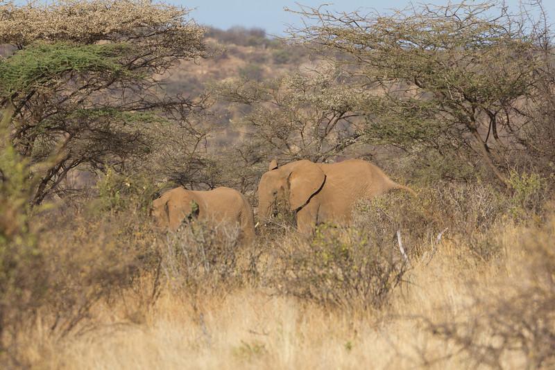 Elephants in the Samburu National Reserve - Kenya