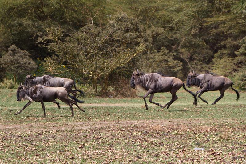 Wildebeests on Crescent Island - Lake Naivasha - Kenya