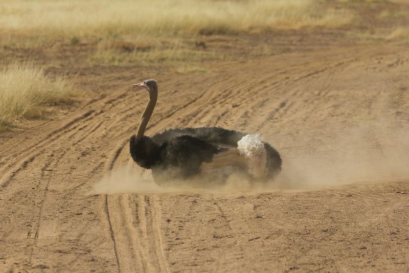 Dirty Bird Bath - Somali Ostrich in the Samburu National Reserve - Kenya