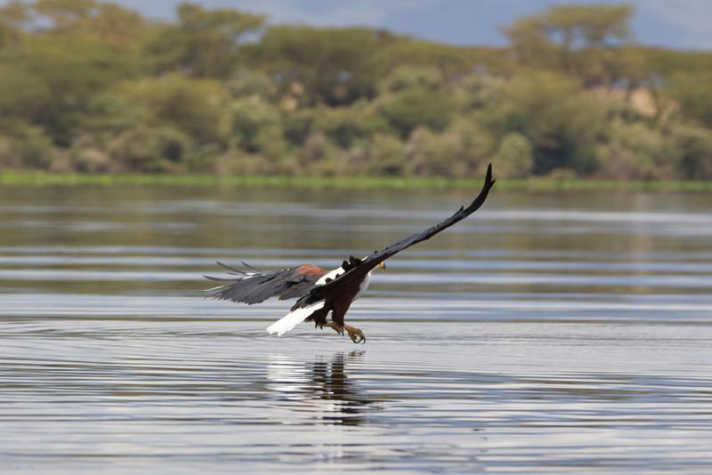 Fish Eagle closing in on a fish in Lake Naivasha - Kenya