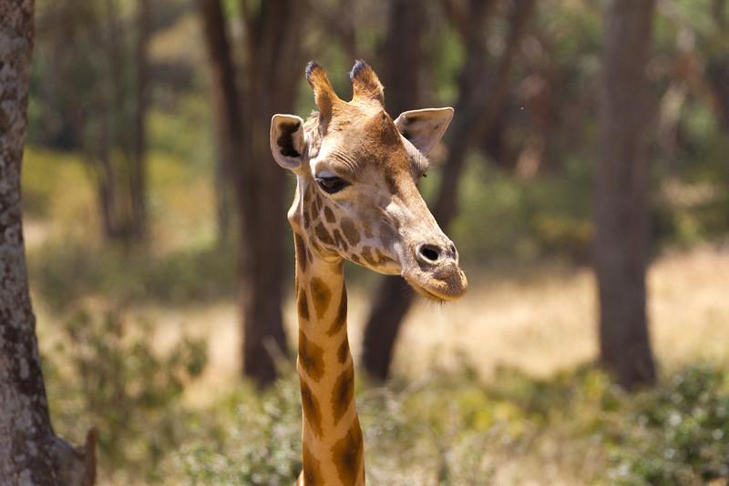Rothschild Giraffe at a Nairobi Preserve