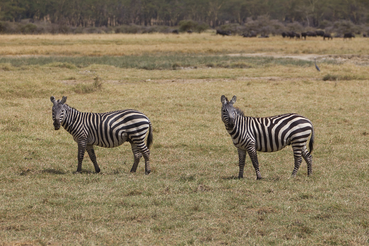 Zebra in the Lake Nakuru National Park - Kenya