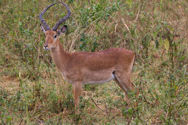 Impala in the Lake Nakuru National Park - Kenya