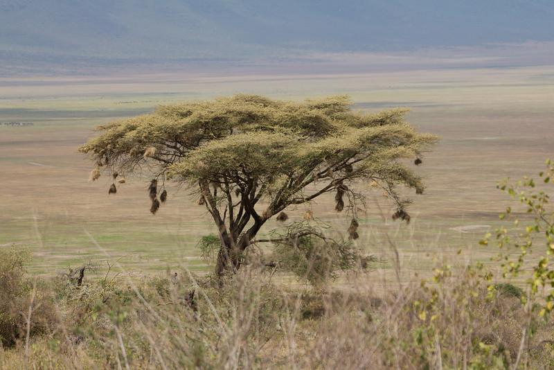 Local Weaver Bird Hotel in the Ngorongoro Crater World Heritage Site - Tanzania