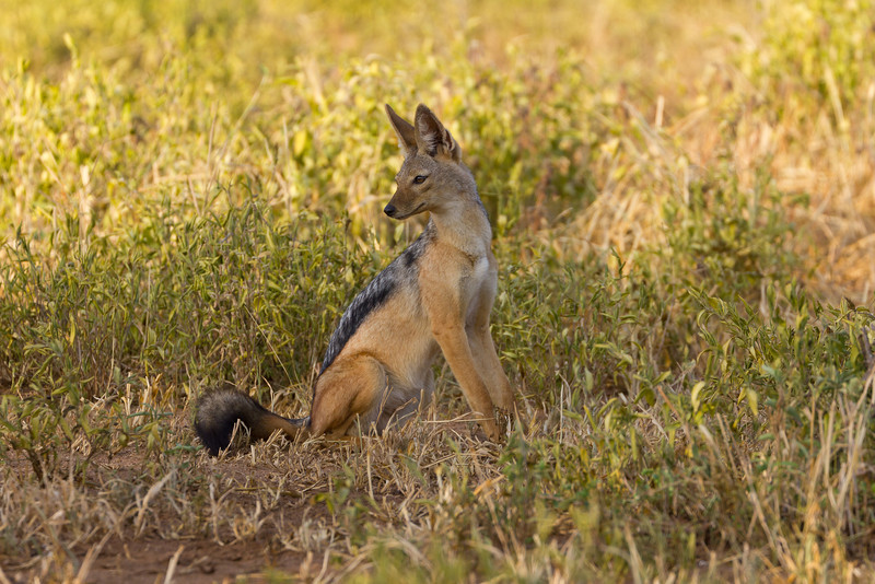 A Jackal in the Tarangire National Park - Tanzania