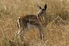 Dik-dik in the grass at Masai Mara National Reserve - Kenya