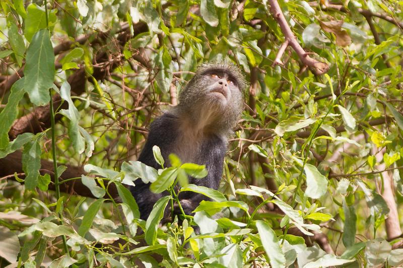 A monkey in the Lake Manyara National Park - Tanzania
