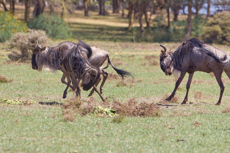Wildebeest playing on Crescent Island - Lake Naivasha - Kenya