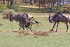 Wildebeest playing on Crescent Island - Lake Naivasha - Kenya