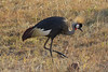 Grey Crowned Crane in Masai Mara National Reserve - Kenya