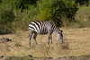Zebra in Masai Mara National Reserve - Kenya