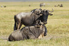 Wildebeest in the Ngorongoro Crater World Heritage Site - Tanzania