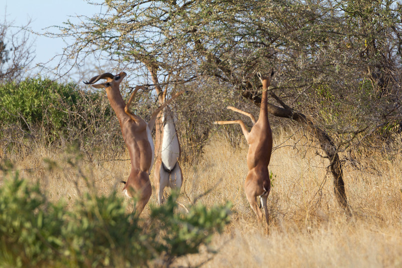 Long Neck Gerenuk Antelope in the Samburu National Reserve - Kenya