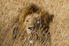 Lion in the Masai Mara National Reserve - Kenya