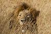 Lion in the Masai Mara National Reserve - Kenya