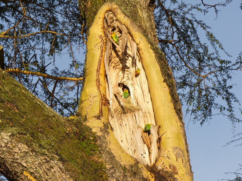 Lovebirds nesting on the grounds of the Lake Naivasha Sopa Lodge in Kenya
