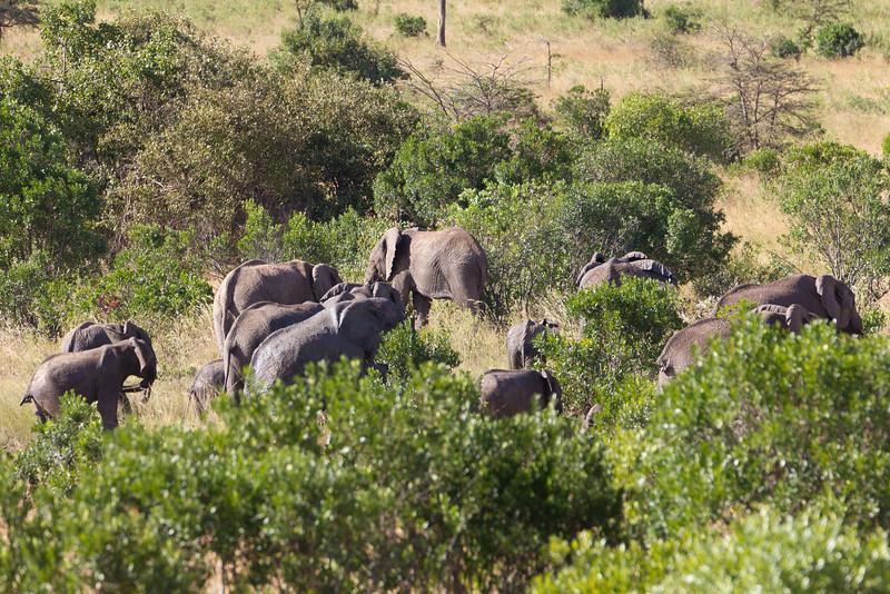 Herd of Elephants in Masai Mara National Reserve - Kenya