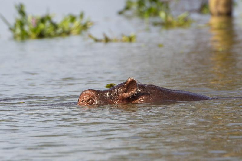 Hippo hunting us in Lake Naivasha - Kenya