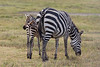 Zebra and baby grazing in the Ngorongoro Crater World Heritage Site - Tanzania