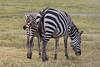Zebra and baby grazing in the Ngorongoro Crater World Heritage Site - Tanzania