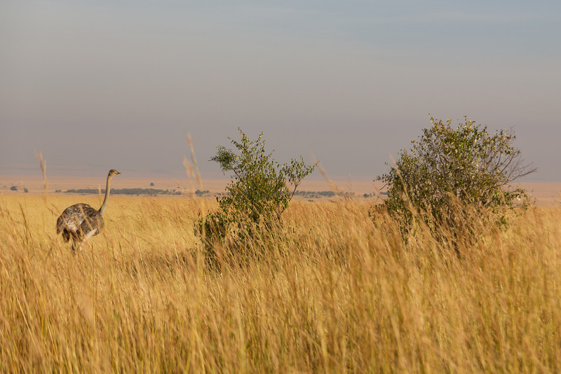 Female Somalie Ostrich in the Masai Mara National Reserve - Kenya