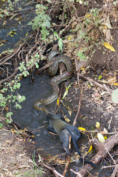 A monkey having a real bad day in the Lake Manyara National Park - Tanzania