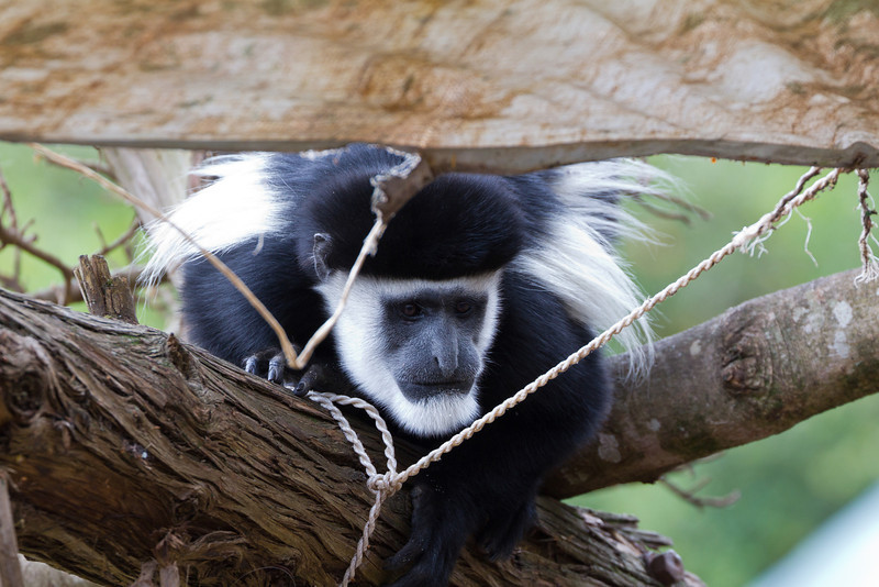 Colobus monkey in the Karibu Trout Tree Resturant.