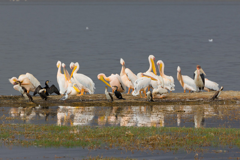 Flamingos and other bird species in the Lake Nakuru National Park - Kenya