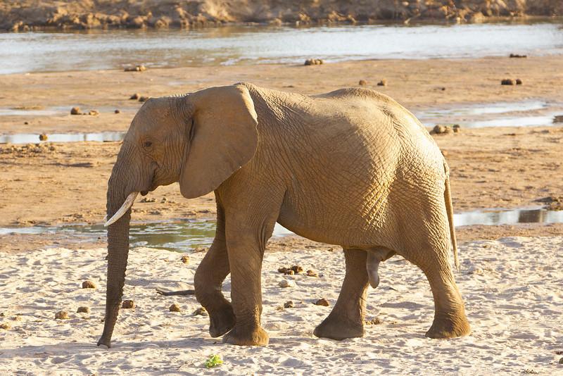 Elephant in the Samburu National Reserve - Kenya