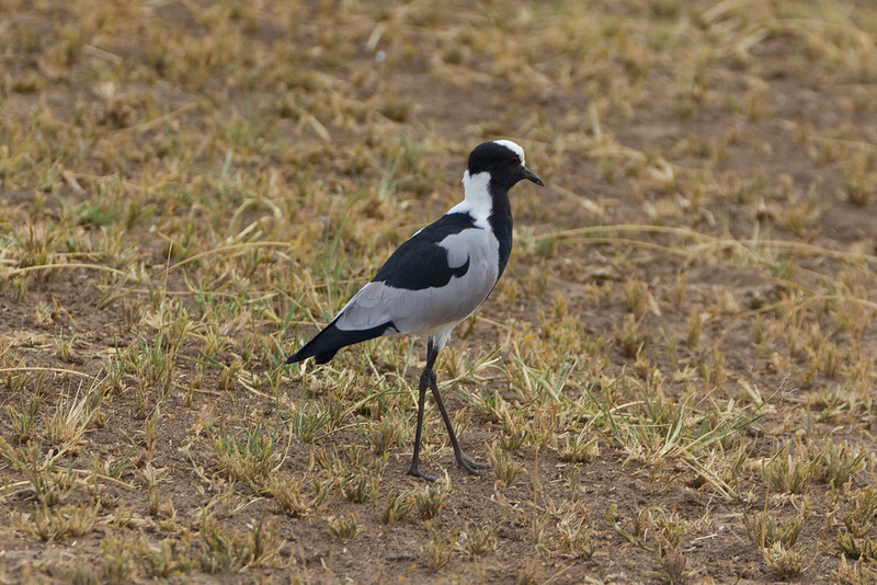 Blacksmith Plover (Vanellus armatus) in the Lake Manyara National Park - Tanzania