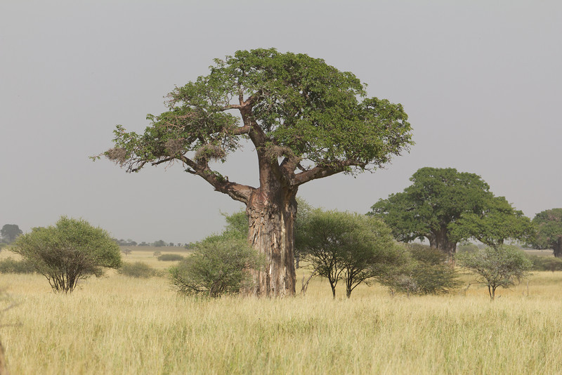 Baobab Tree in the Lake Tarangire National Park area - Tanzania