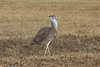 Female Kori Bustard in the Ngorongoro Crater World Heritage Site - Tanzania
