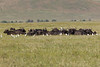 Cape Buffalo grazing in the Ngorongoro Crater World Heritage Site - Tanzania