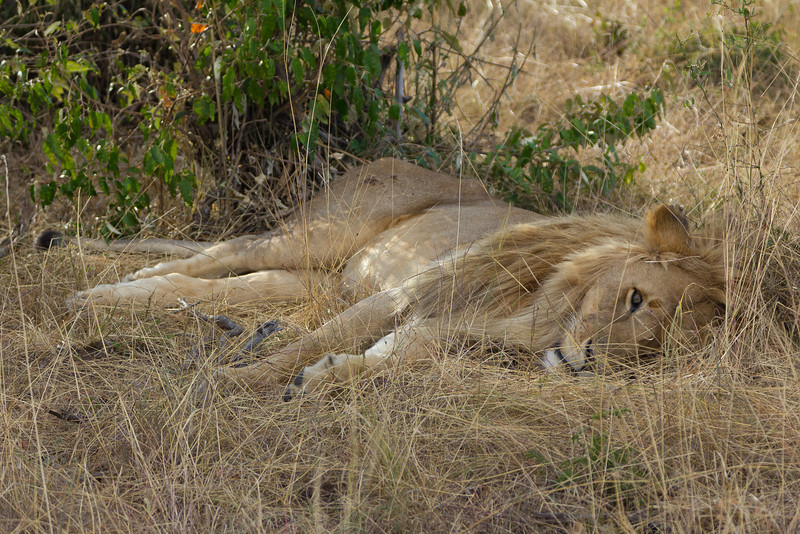 Lion relaxing in the grass in the Masai Mara National Reserve - Kenya