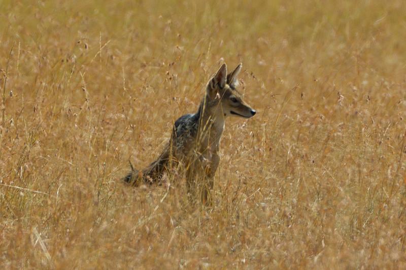 Jackel in the Masai Mara National Reserve - Kenya