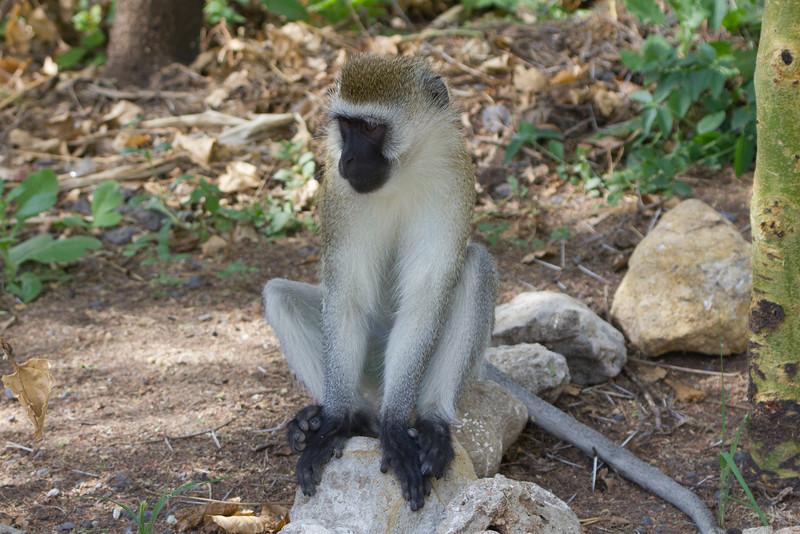 Monkey in the Tarangire National Park - Tanzania