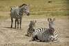 Zebra in the Ngorongoro Crater World Heritage Site - Tanzania