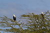 Fish Eagles in Lake Naivasha National Park - Kenya