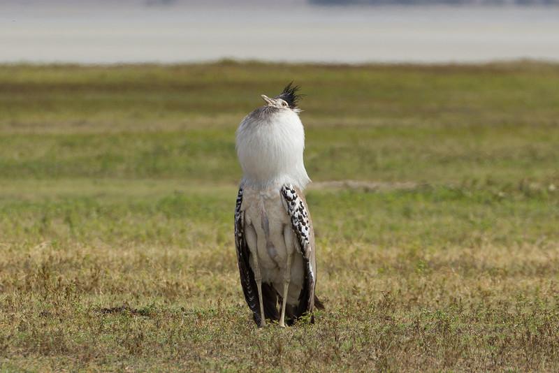 The Kori Bustard in the Ngorongoro Crater World Heritage Site - Tanzania