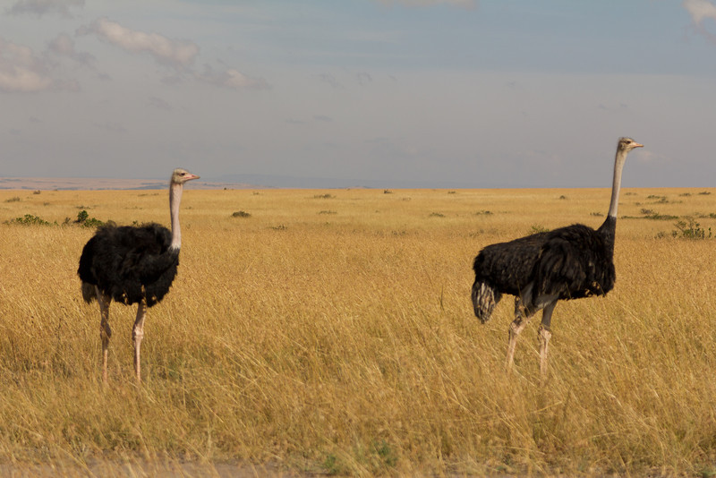 Male Somalie Ostrich in the Masai Mara National Reserve - Kenya
