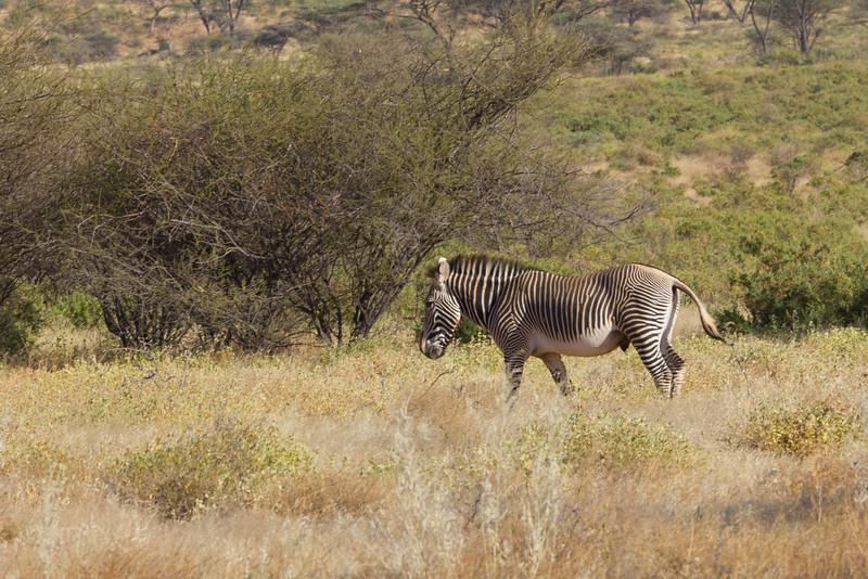 Zebra in the Samburu National Reserve - Kenya