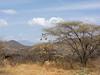 Weaver bird hotel in the Samburu National Reserve - Kenya