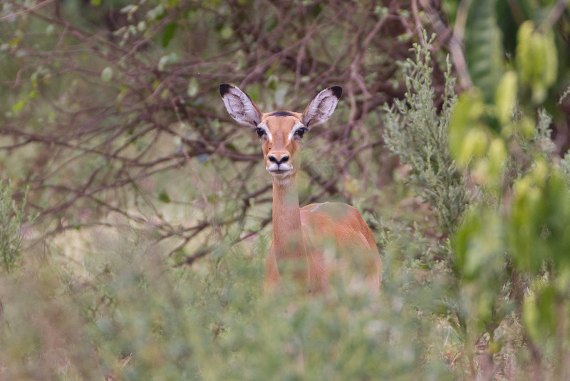 Impala in the Lake Manyara National Park - Tanzania
