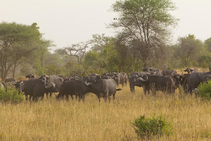 Cape Buffalo in the Taranguire National Park - Tanzania