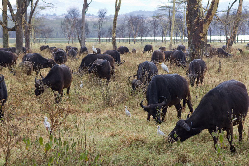 Cape Buffalo herd in Lake Nakuru National Park - Kenya