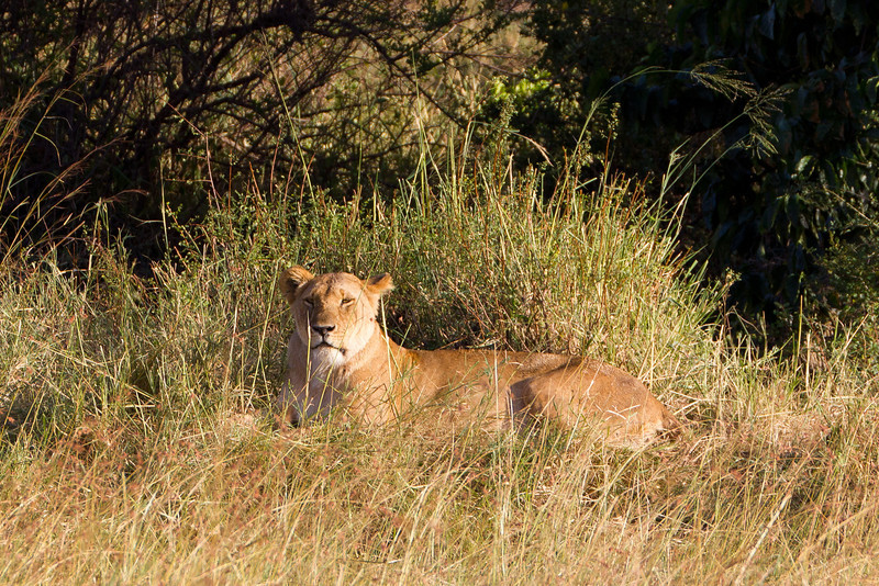 Lioness in the grass at Masai Mara National Reserve - Kenya