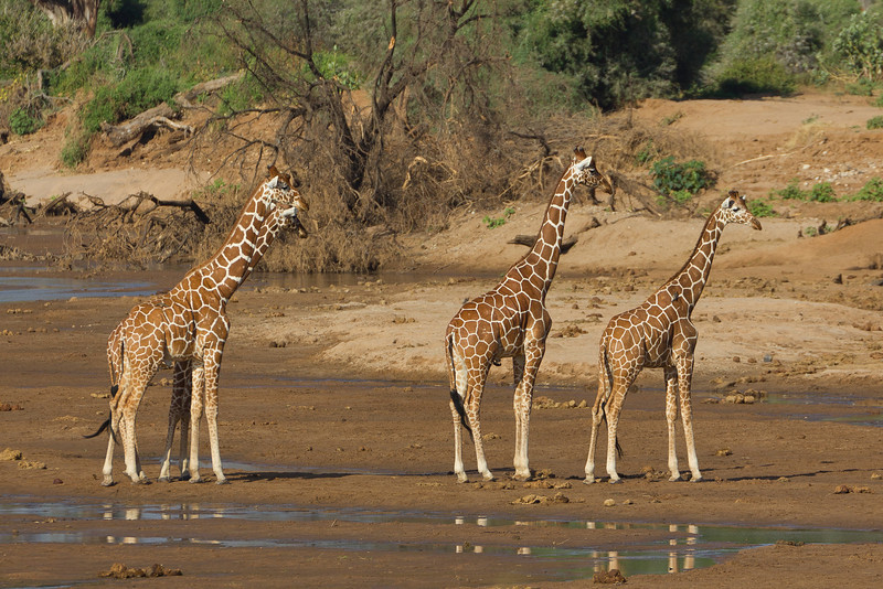 Reticulated Giraffes in the Mount Kenya National Reserve