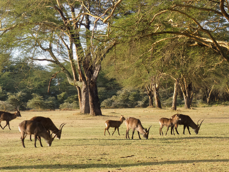 Waterbuck on the grounds of the Lake Naivasha Sopa Lodge, Kenya